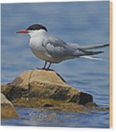 Adult Common Tern Wood Print by Tony Beck