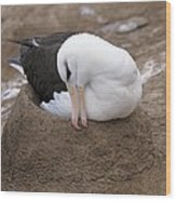 Black-browed Albatross Nesting Wood Print by Charlotte Main