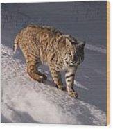 Bobcat Felis Rufus Prowls Over The Snow Wood Print by Dr. Maurice G. Hornocker