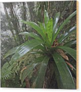 Bromeliad And Tree Ferns Colombia Wood Print by Cyril Ruoso
