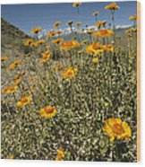 Bush Sunflowers Grow On Arid Slope Wood Print by Gordon Wiltsie