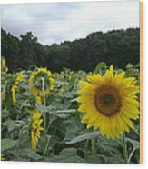 Buttonwoods Sunflowers Wood Print by Jason Sawicki