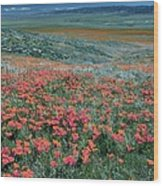 Californian Poppies (eschscholzia) Wood Print by Bob Gibbons