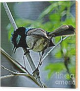 close up of Superb Fairy-wren Wood Print by Joanne Kocwin