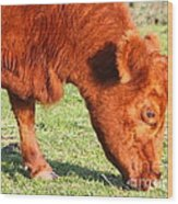 Cow Grazing In The Field . 7d9931 Wood Print by Wingsdomain Art and Photography