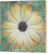 Cream Coloured Daisy Wood Print by Chris Thaxter
