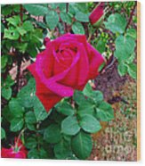 Dew Kissed Red  Rose Wood Print by The Kepharts