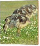 Egyptian Goslings Wood Print by Pallab Seth