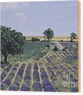 Field Of Lavender. Sault. Vaucluse Wood Print by Bernard Jaubert