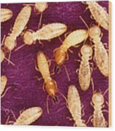 Formosan Termites Wood Print by Science Source