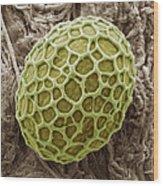 Freshwater Alga, Sem Wood Print by Steve Gschmeissner