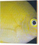 Golden Damsel Close-up, Papua New Wood Print by Steve Jones