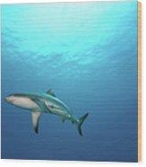 Grey Reef Shark Wood Print by James R.D. Scott