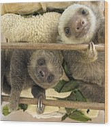 Hoffmanns Two-toed Sloth Orphaned Babies Wood Print by Suzi Eszterhas