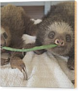 Hoffmanns Two-toed Sloth Orphans Eating Wood Print by Suzi Eszterhas