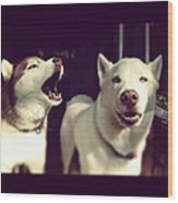 Husky Dogs Wood Print by Photography by Brandon Shepherd