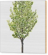 Isolated Flowering Pear Tree Wood Print by Elena Elisseeva