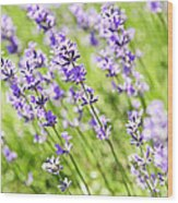 Lavender In Sunshine Wood Print by Elena Elisseeva