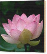 Lotus Beauty--blushing Dl003 Wood Print by Gerry Gantt