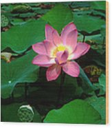 Lotus Flower And Capsule 24a Wood Print by Gerry Gantt