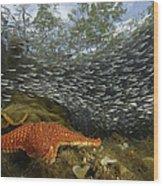Mangrove Root Habitats Provide Shelter Wood Print by Tim Laman