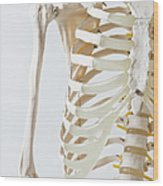 Midsection Of An Anatomical Skeleton Model Wood Print by Rachel de Joode