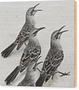 Mockingbirds Mimidae Galapagos, Equador Wood Print by Keith Levit