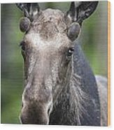 One Year Old Bull Moose With Growing Wood Print by Philippe Henry