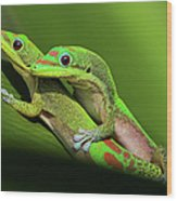 Pair Of Mating Green Geckos Wood Print by Pete Orelup