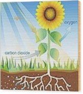 Photosynthesis, Illustration Wood Print by David Nicholls