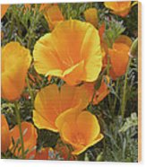 Poppies (eschscholzia Californica) Wood Print by Tony Craddock