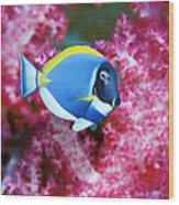 Powder Blue Surgeonfish Wood Print by Georgette Douwma