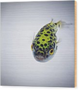 Puffer Fish Wood Print by Rich Johnson of Spectacle Photo