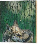 Red Fox Vulpes Vulpes In A Soft Trap Wood Print by Joel Sartore