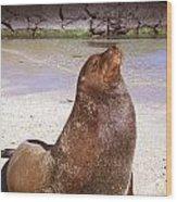 Sea Lion  On Genovesa Island Wood Print by Thomas R Fletcher