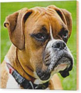 Sidney The Boxer Wood Print by Chris Thaxter