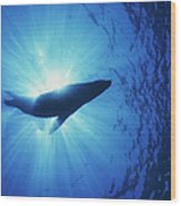 Silhouette Of A Sea Lion, La Paz Wood Print by Beverly Factor