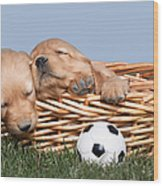 Sleeping Puppies In Basket And Toy Ball Wood Print by Cindy Singleton