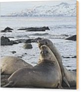 Southern Elephant Seals Sparring Wood Print by Charlotte Main