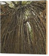 Strangler Fig Tree, Ficus Virens, Known Wood Print by Tim Laman