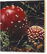 The Introduced Bright Red Fly Agaric Wood Print by Jason Edwards