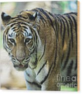 Tiger - Endangered - Wildlife Rescue Wood Print by Paul Ward