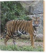 Tigers Glare Wood Print by Brendan Reals
