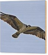 Topsail Osprey Wood Print by Betsy Knapp