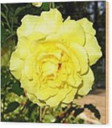 Upbeat Yellow Rose Wood Print by Will Borden