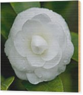 White Camellia Wood Print by Rich Franco