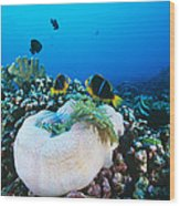 Yellowtail Anemonefish By Their Anemone Wood Print by Alexis Rosenfeld