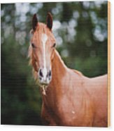 Young Brown Quarter Horse Wood Print by Jorja M. Vornheder