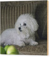 Fifi The Bichon Frise  Wood Print by Michael Ledray