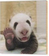 Giant Panda Ailuropoda Melanoleuca Cub Wood Print by Katherine Feng